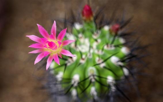 Обои Кактус розовые цветы