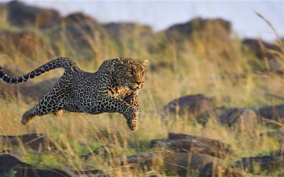 Wallpaper Cheetah predation rapid jumping