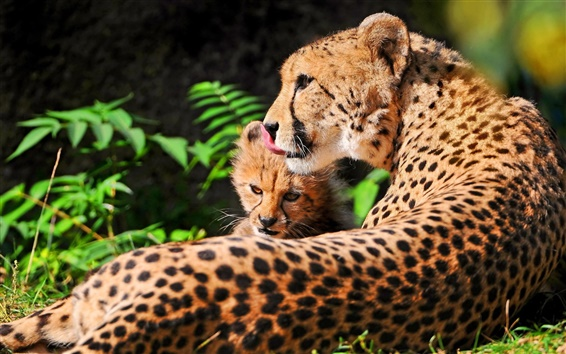 Wallpaper Cheetah with her mother at rest