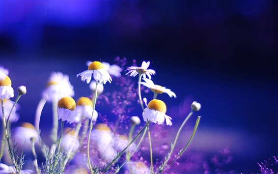 Wallpaper Daisy flowers blue background