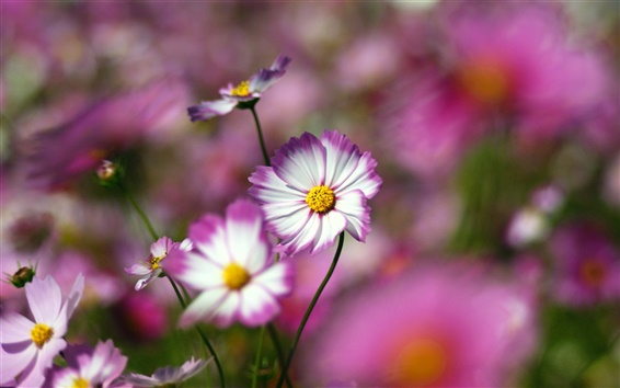 Wallpaper Flowers close-up, pink, white petals