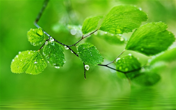 Обои Зеленый фон темы, капли воды на листьях