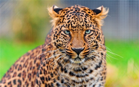 Wallpaper Leopard face HD close-up