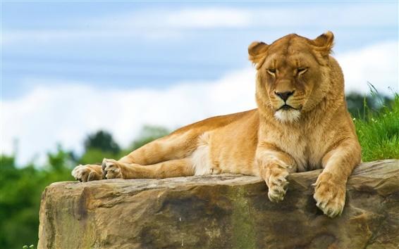 Обои Лев лежал на каменном