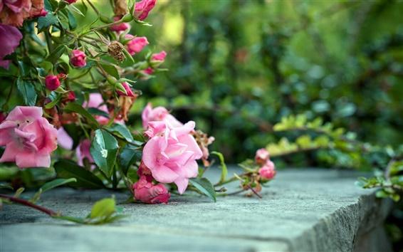 Fond d'écran Roses roses sur le terrain