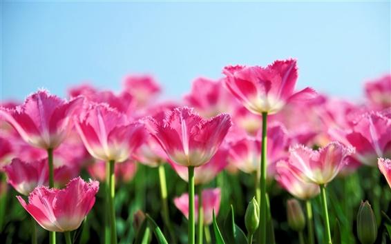 Fond d'écran Fleurs de tulipes roses fleurissent au printemps, le fond de ciel bleu
