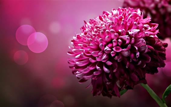 Обои Фиолетовые цветы, лепестки хризантемы крупным планом