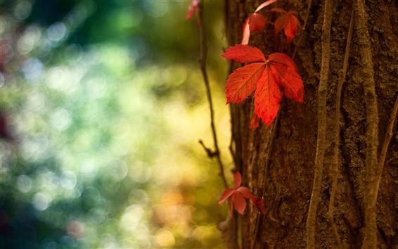Обои Красный лист макросов, размытым фоном