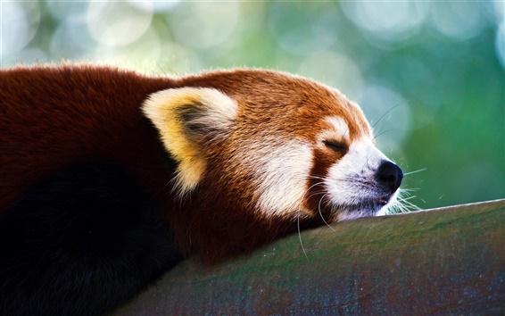 Papéis de Parede Snooze panda vermelho