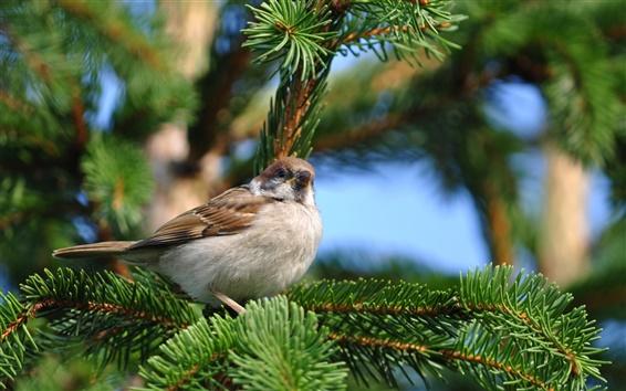 Wallpaper Sparrow spring pine tree
