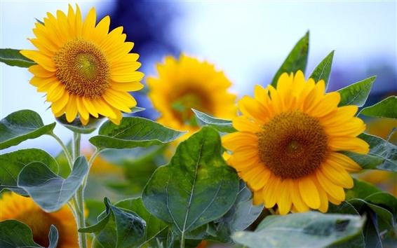 Papéis de Parede Girassol verão em plena floração