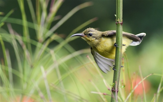 Wallpaper Sunbird twig grass