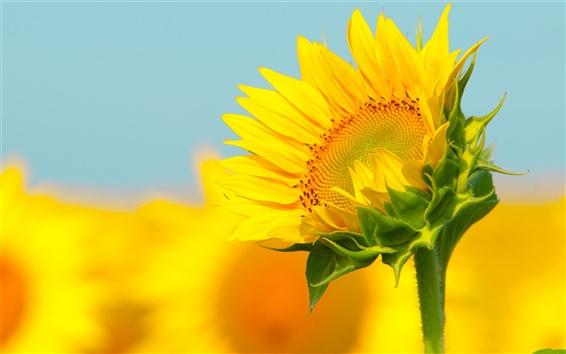 Fond d'écran Sunflower macro photographie, bokeh