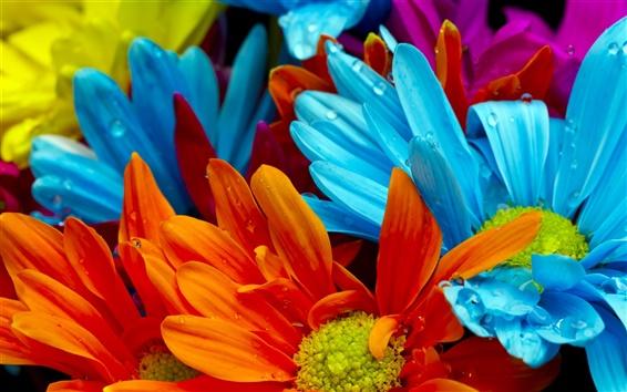 Papéis de Parede O colorido brilhante de pétalas de crisântemo