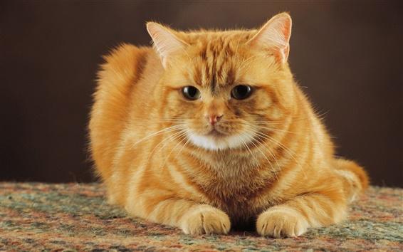 Обои Послушная кошка оранжевый цвет