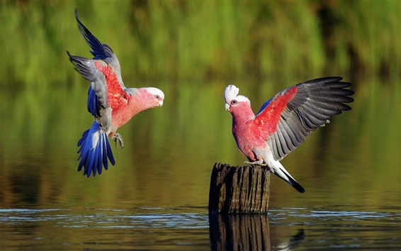 Wallpaper Two parrots playing on the surface of the river