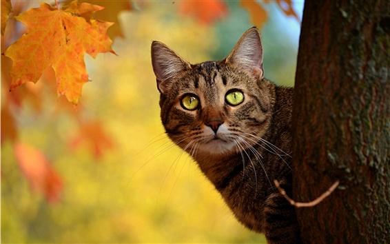 壁紙 秋猫覗き、黄色の葉