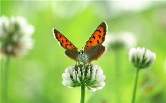 Papéis de Parede Borboleta inseto close-up, flores silvestres brancas no verão