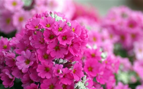 Обои Розовые флоксы цветы макро