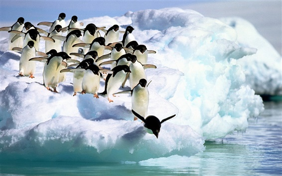 Wallpaper Snow penguin ready to jump into the water
