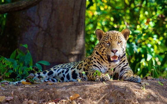 Wallpaper The carnivores jaguar rest in the shade