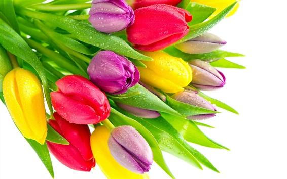 Wallpaper Tulip flowers with water droplets, red yellow purple flowers