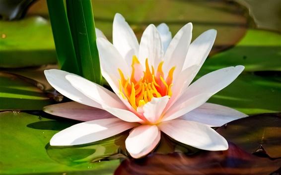 Обои Водяные лилии, белые лепестки макро