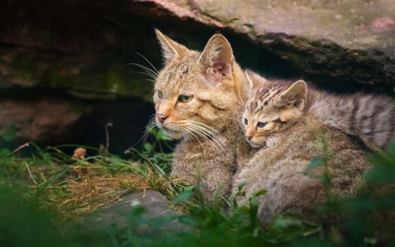 배경 화면 새끼 고양이와 살쾡이의 어머니