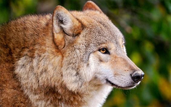 Wallpaper A wolf close-up, a predator