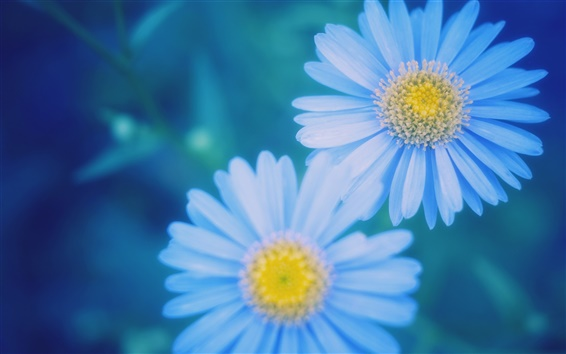 Wallpaper Blue daisies blurred close-up