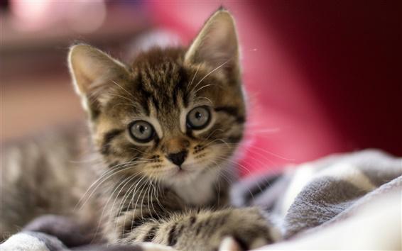 Papéis de Parede Gatinho bonito, rosto bonito, olhos, orelhas, close-up