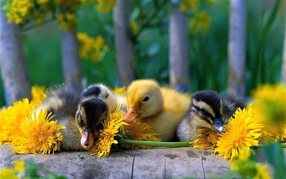 Обои Симпатичные маленькие утки с желтыми ромашки