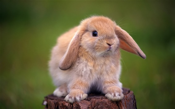 Wallpaper Cute rabbit standing on a tree stump