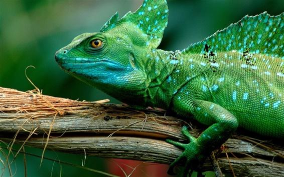 Wallpaper Green lizard, chameleon