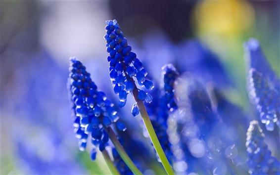 Papéis de Parede Muscari azul, close-up, fotografia desfocada