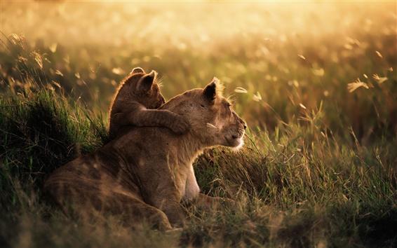 壁紙 夕暮れ時の草原のライオン