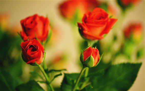 Wallpaper Warm flowers, red roses budding
