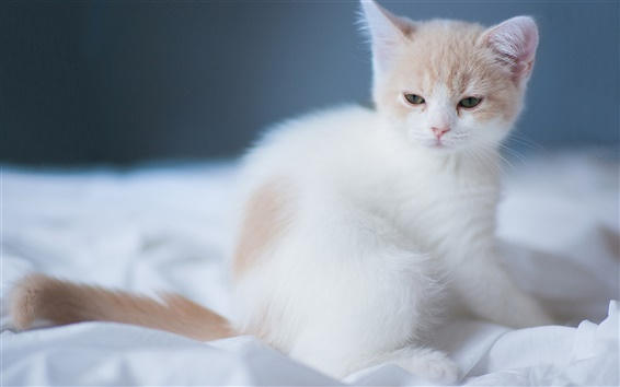 Обои Белый милый котенок