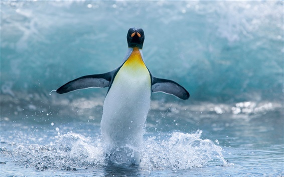 Wallpaper Antarctic penguins dance