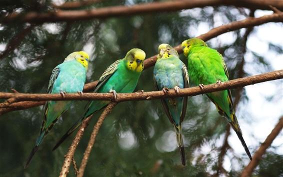 Wallpaper Four green parrots close-up