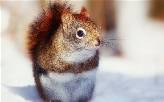 Wallpaper In winter, the cute little squirrel close-up photography
