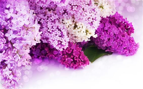 Обои Сирень фиолетовые и белые лепестки, цветы крупным планом