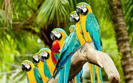Wallpaper Parrots lined up to stand