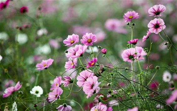 Wallpaper Pink flowers, summer, green, nature