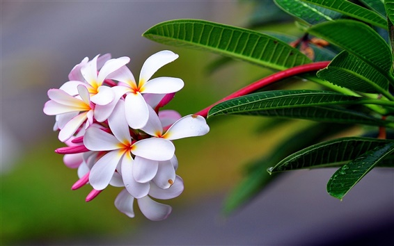 Wallpaper Plumeria flowers macro photography
