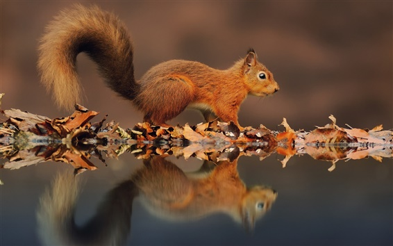 Wallpaper Small squirrel, the reflection in the water, leaves in autumn