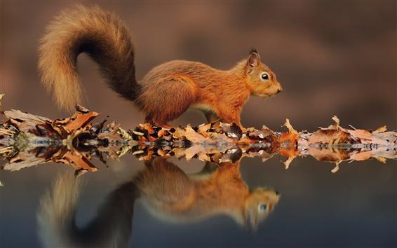 Papéis de Parede Esquilo pequeno, o reflexo na água, sai no Outono