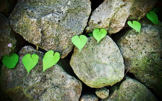Wallpaper Stones, morning glory, green leaf
