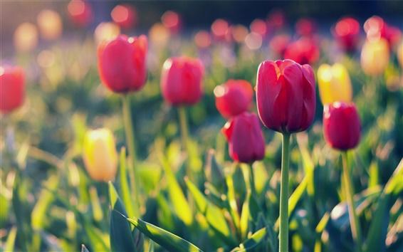 Обои Летний сад тюльпан, размытым фоном