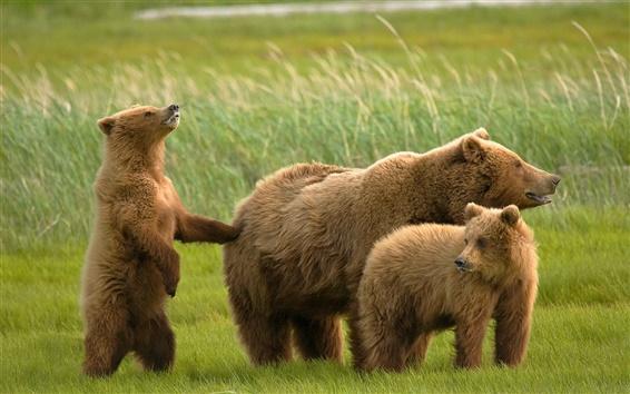 Papéis de Parede Três ursos na grama